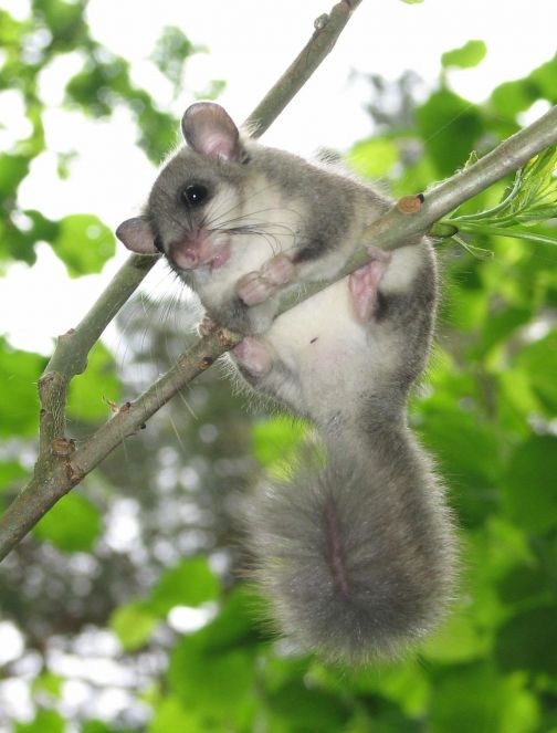Lithuanian Fund For Nature Edible Dormouse